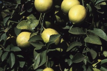 Meyer lemon trees are a smart addition to edible landscapes.