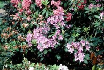 Some rhododendrons have clustered flowers, while others do not.