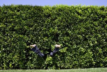 Thick hedges can eventually take the places of fences.