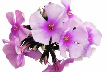 Garden phlox produce a cluster of tiny, four-petaled blooms.
