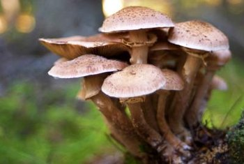 Mushrooms are a common nuisance in lawns and gardens.