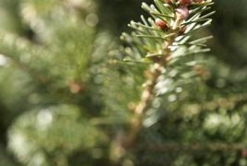 Sometimes fir trees appear healthy on the outside while sustaining fungal diseases.