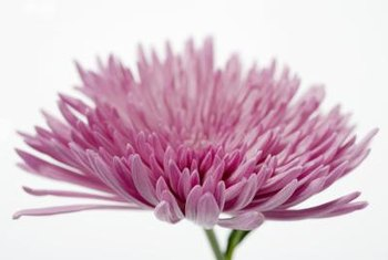 Chrysanthemum flowers look like colorful pompons.