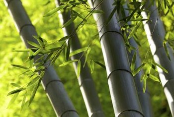 Bamboos are vigorous, evergreen grasses.