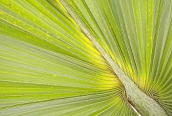 The European fan palm is considered both a tree and shrub.