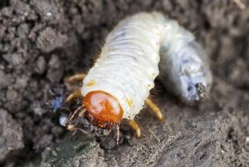 Scarab beetle grubs have chewing mouthparts that can sever roots.