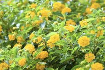 Marigolds need light to flourish but not for their seeds to germinate.