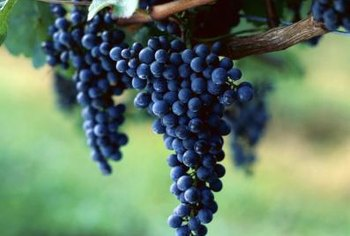 Seedless grape varieties come in different colors.