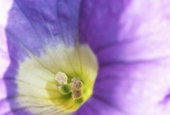 The colorful morning glory is complemented in the garden by its plain cousin, the moonflower.