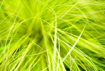 Some ornamental grasses have yellow-green foliage resembling the color of limes.