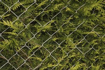 Arborvitae planted in front of a chain-link fence screens it from view.