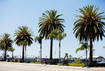 Many palms make ideal street trees because their roots don't damage nearby pavement.