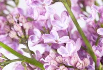 The lilac's beauty is attractive to both people and butterflies.