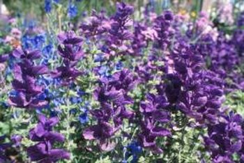 Lupines add dramatic color to a wildflower garden.