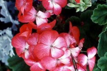 Geraniums will grow in full sun or part shade.