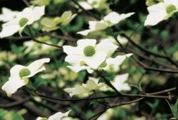 Dogwood trees produce ornamental white flowers in the spring and have a purple-red fall leaf color.