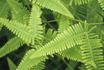 Ferns can creep into a yard from nearby woods.