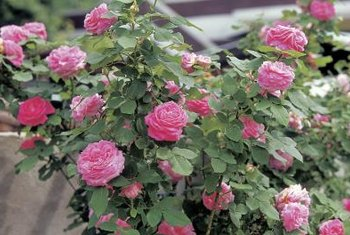 Regular weeding helps keep roses healthy,