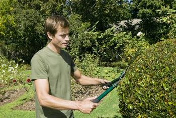 Hedge shears work well to trim new growth from your topiary.