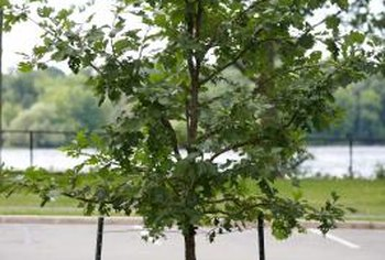 Tree stakes help stabilize young trees threatened by wind or human activity.