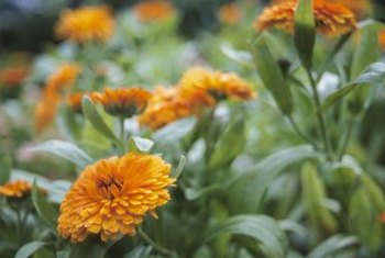 Calendulas are brightly colored annual flowers.