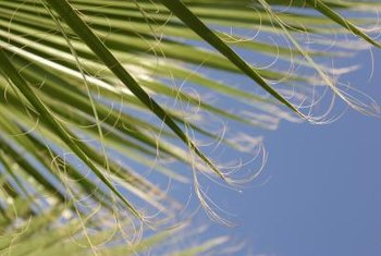 Frizzled palm fronds may indicate a nutritional deficiency.