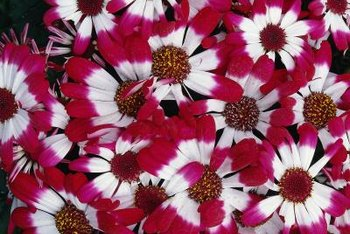 Florist cineraria is bred in many colors and can interbreed in the garden.