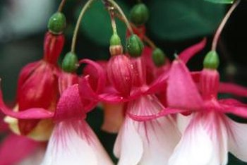 Fuchsias thrive in shaded conditions.