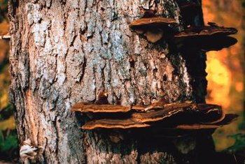 Shelf fungi can grow for years, putting on age rings, like trees.