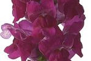 Snapdragons bloom in clusters from the bottom to the top on erect spikes.