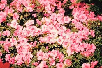Azaleas offer exceptional spring color year after year.