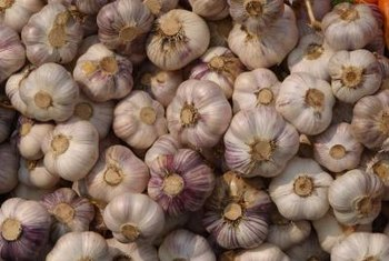 Garlic requires several months to grow from single clove to large bulb.