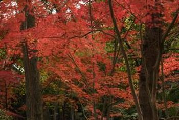 Some Japanese maples light the sky with fire.