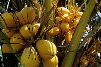 "You can recognize the ""Golden Malayan Dwarf"" cultivar by its yellow coconuts."
