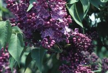 Lilacs bloom between early spring and early summer.