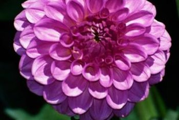 Dahlia flowers can be cut and displayed in a vase.