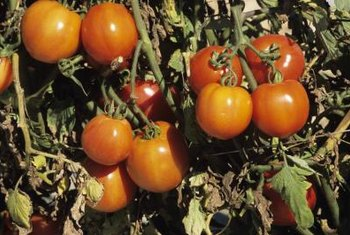 Why Do My Homegrown Tomatoes Have Lines or Slits? | Home
