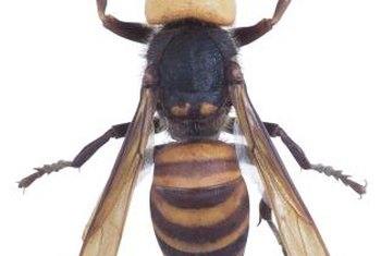 Hornets and bees are attracted to potential food sources around your shed.