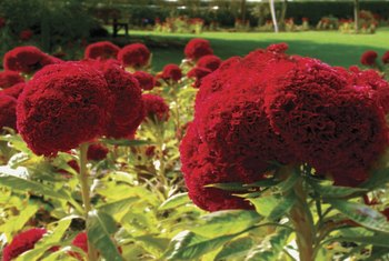 Cockscomb resembles cauliflower with its velvety texture and bright color.