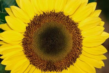 Sunflowers have central disc flowers surrounded by ray flowers.