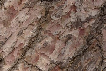 Stone pine tree bark is orangish-red with dark seams.