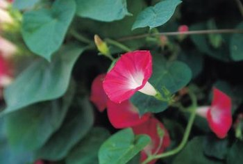 Mandevilla vines propagate from seeds or cuttings.