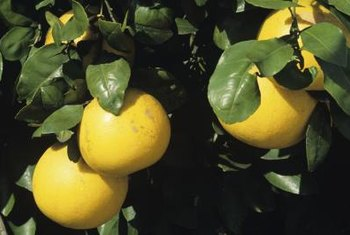 Grapefruit are among the least cold hardy of all the citrus trees.
