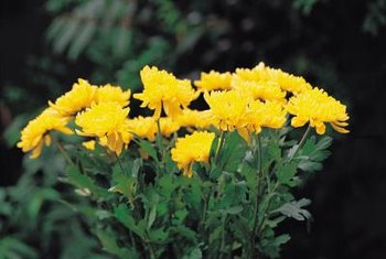 What insects can attack mums home guides sf gate some pests feed on chrysanthemum flowers as well as foliage mightylinksfo