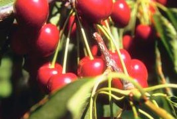 Semi dwarf cherry trees produce fruit at a younger age than standard trees.