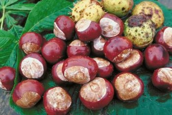 Horse chestnuts are covered in distinctive spiny shells.