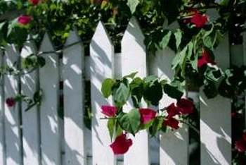 Bougainvilleas need a sturdy support system to prevent wind damage.