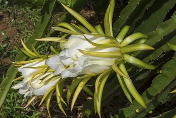 Dragon fruit is also known as night-blooming cereus.
