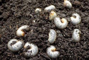 White grubs turn into brown or black beetles that eat leaves.