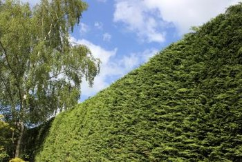 Leyland cypresses are often grown as screens and hedges.